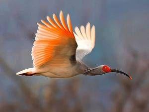 Păsări rare - ibis japonez