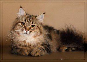Pisica rusă din Siberia - descriere