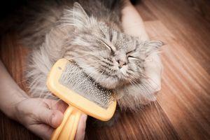 Pisica siberiana iubește procedura de pieptene