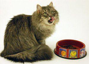 Pisica siberiana - nutritie corecta