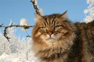 Pisica rusă siberiană în timpul iernii