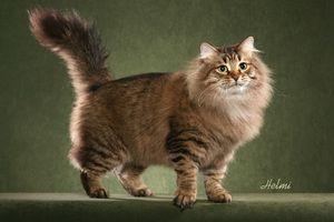 Pisica Siberiana Rusa - structura corpului
