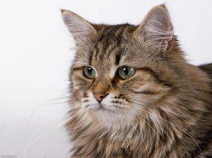 Siberian pisica rusă fotografie closeup
