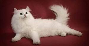 Pisica siberiana de culoare alba