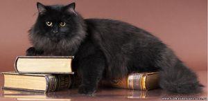 Pisica siberiana de culoare neagra