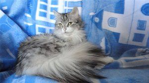 Pisică de culoare argintie adulte din Siberia