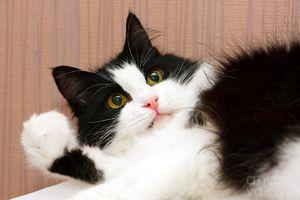 Alb-negru pisica rusă siberiana