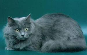 Pisica siberiana de culoare albastra