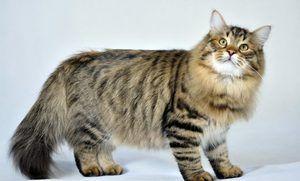 Pisica siberiana - intretinere si ingrijire