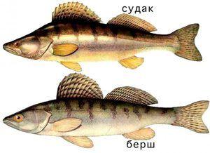 Descrierea peștelui borsch