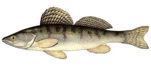 Cum să pescuiască bershe