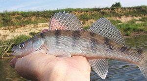 Beneficiile peștelui burselor