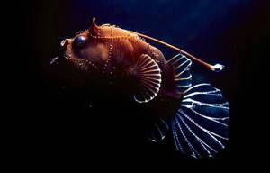 Pește-pește sau pește de mare: descriere și descriere