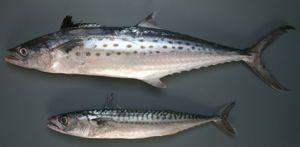 Diferența dintre pește și macrou