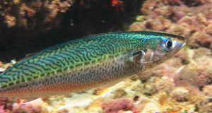 Sudul macrou - fotografie a peștilor din mediul natural