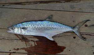 Macrou - pește de pradă mare
