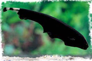 Cuțit negru - ce este acest pește