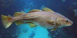 Utilizarea peștelui de cod