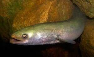 Ce arata un pește de anghilă?