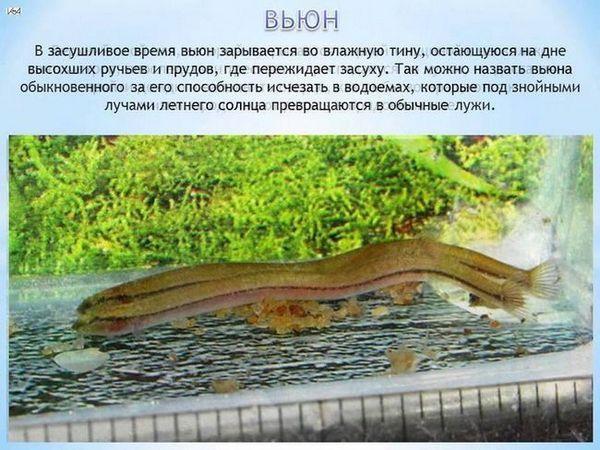 Peștii de pește în acvariu