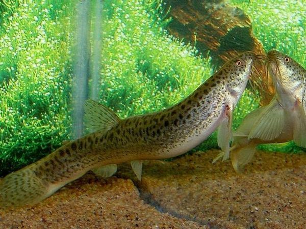 Cum să conțină un loach în acvariu