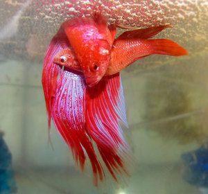 Reproducerea peștelui de pește