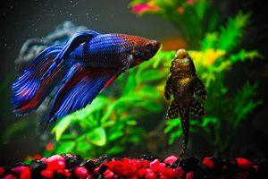 Fish Cock Compatibilitate cu alte pești