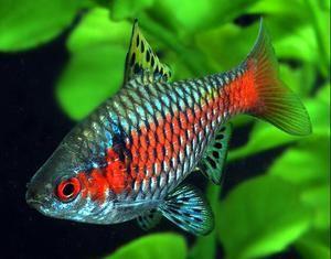 Fish barbs: specii, îngrijire, reproducere