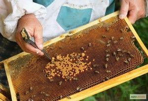 Unde să începeți reproducerea albinelor la domiciliu de la zero