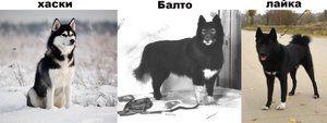 Tipuri de câine Husky