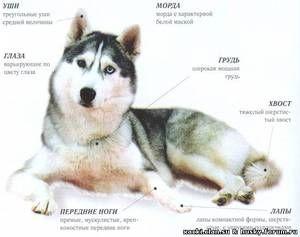 Caracterul Huskyi lui Sahalin