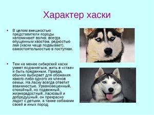 Husky rasa de câine