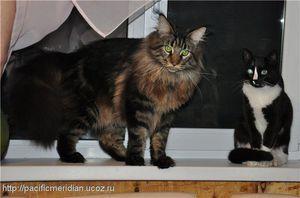 Maine Coon și pisica comună