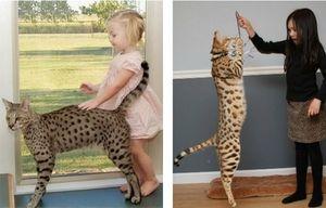 Asher și copii - creșterea pisicilor