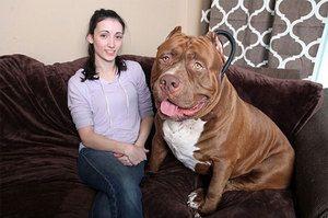 Wolfhound și câine standarde
