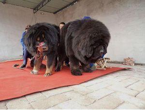 Ce câini sunt cei mai mari