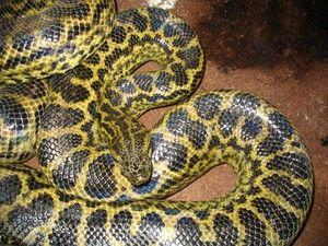 Cel mai lung șarpe din lume, șerpi mari