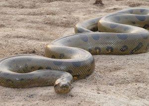 Cei mai mari puști de șerpi
