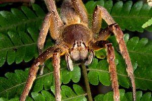 Cei mai mari și mai periculoși păianjeni din lume