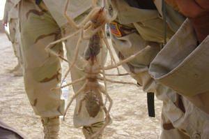 Camel păianjen - cei mai mari și cei mai periculoși păianjeni