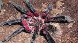 Somon-roz spider-tarantula - cei mai mari și periculoși păianjeni