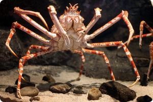 Giant Crab Spider - cei mai mari păianjeni