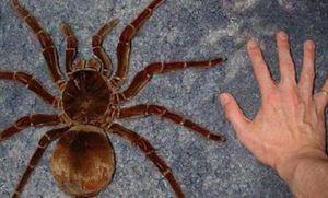 Goliat este cel mai mare păianjen din lume