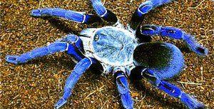 Păianjeni mari și periculoși