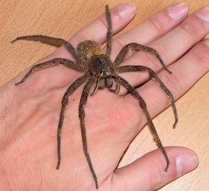 Brazilian rătăcitor spider-cel mai mare păianjeni din lume