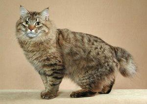 Cele mai mari pisici din lume și istoria lor