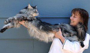 Cea mai mare pisica este Maine Coon Stewie