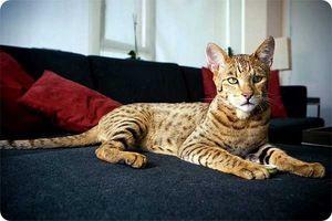 Caracteristicile rasei de pisici asher