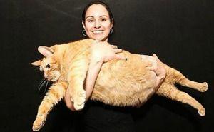 Pisica Himmi este cea mai groasă din lume