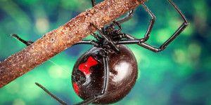 Cele mai otrăvitoare păianjeni